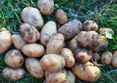 Harvested potatoes - delicious