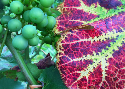 Grapes for wine, if you fancy